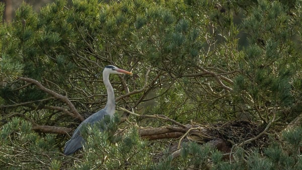 Heron Watch - Now Online!